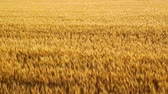kahverengi : The wheat field of biei town Hill