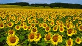 girassol : In the sunflower field in Hokkaido, Japan Stock Footage
