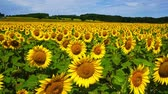 yellow flower : In the sunflower field in Hokkaido, Japan Stock Footage