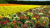 доллар : The flower garden of Furano Стоковые видеозаписи
