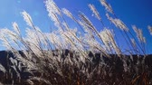 tremulação : Japanese pampas grass swaying in the wind