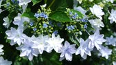 titreme : Hydrangea in the wind