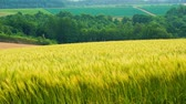 harvest : The wheat field of biei town Hill