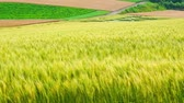 travel : The wheat field of biei town Hill