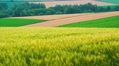 Wheat field of biei