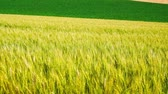 hokkaido : The wheat field of biei town Hill