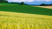 растения : The wheat field of biei town Hill