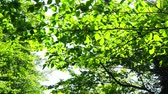 kyushu : Fresh green leaf Stock Footage