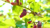 dut : Slow motion shot Mulberry Hanging on Tree Branches