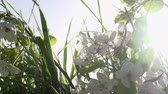 wet : Blossoming branch of a tree on a young green grass on sun sky background. The camera slowly moves to the right. Slow Motion at a rate of 240 fps Stock Footage