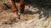 horse gait : Feet horse close-up. Horse hoof beats on the grass on which the scattered hay Stock Footage