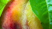 бархат : Peach on the Branch. Peach closeup rotates in front of the lens. Its velvety surface is covered with small drops of water