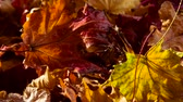 gold coloured : Theme of Bright Autumn. Bright wet autumn leaves rotate in front of the camera in the sun