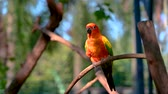 ара : Orange yellow parrot, green wing, stick on the branches video 4k