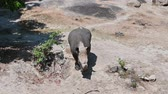 rhino poaching : The white rhino is walking in the forest. Stock Footage