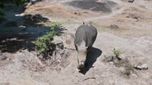 boynuzlu : The white rhino is walking in the forest. Stok Video