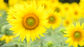 yellow : Sunflower field in the wind Stock Footage