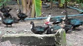 Muscovy duck or Cairina moschata are both standing and walking on the ground within the farm.