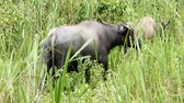 Thailand Buffalo mother with young buffalo eating grass in the wild grass. Vídeos