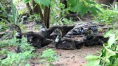 Young Muscovy duck lie on the ground and rise walk away. Vídeos