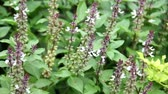 Sweet, Basil Thai Basil (Ocimum basilicum) flowers blooming on the trees in the garden, was shaken by the wind. Vídeos