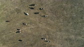 Top View of Cows on a Farm in Rural Area in Sao Paulo, Brazil