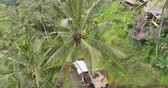 балийский : Aerial shot of man harvesting coconut on the palm tree - October 2017: Tegallalang, Ubud, Bali, Indonesia