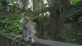 korkuluk : Monkey sits on the railing. Crab eating macaque - October 2017: Monkey Forest, Ubud, Bali, Indonesia