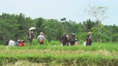 relaxation : Group of farmer working on rice field - October 2017: Ubud, Bali, Indonesia