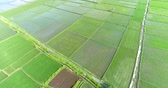 hántolatlan rizs : Aerial view of rice field. Flying over of asian paddy field - Bali, Indonesia Stock mozgókép
