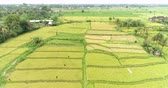 mudas : Aerial view of rice field. Flying over of asian paddy field - Bali, Indonesia Vídeos