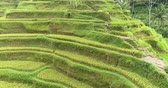 балийский : Aerial view of rice terrace. Flight over of rice field Tegalalang, Ubud, Bali