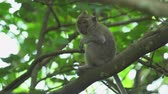 fascicularis : Monkey sits on the tree. Crab eating macaque, Bali, Indonesia Stock Footage