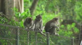 fascicularis : Monkeys seats on the fence. Crab eating macaque family, Bali, Indonesia