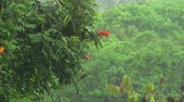 pingos de chuva : Tropical heavy rain in the rainforest