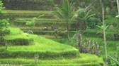 tegalalang : Farmer working on rice terrace. Woman threshing with hand in paddy field - October 2017: Ubud, Bali, Indonesia Stock Footage