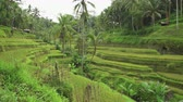 balinese : Tegalalang rice terraces. Rice field, Bali, Indonesia