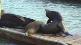 adormecido : Sea Lions in Pier 39 - San Francisco, California
