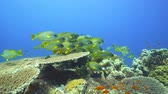 plectorhinchus : School of colorful tropical fish. Black spotted sweetlips in the Red Sea Stock Footage