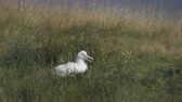 nascido : New born Royal Albatross nestling, bird - New Zealand, Otago Peninsula Stock Footage