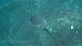 socorro : Lying Pacific torpedo ray on a seabed - underwater shot