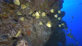 melek : School of tropical fish, Socorro - Barberfish, Johnrandallia nigrirostris Stok Video