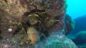 socorro : Lot of lobster in a hole - Underwater shot