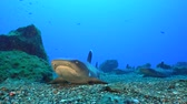 socorro : Lying whitetip reef shark on seafloor - Socorro island Stock Footage