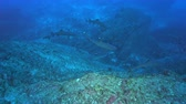 educação escolar : School of sharks swimming in the blue. Hunting sharks - Socorro island