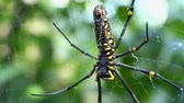 крупные планы : Golden orb weavers spider in the net. Big spider with green background - Nephila