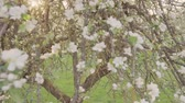 blühender baum : Blooming green trees in the park. Beautiful nature. Slow motion