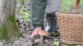 leccinum : Wicker basket and man hand pick up gather red cap scaber stalk mushroom grow near moss tree. Stock Footage