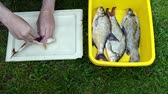 salário : man hands salting freshly caught roach fish in plastic plate dish on green grass. food prepare. Stock Footage