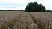 yellow : tractor wheel marks between agriculture ripe wheat field ears move in wind. Stock Footage